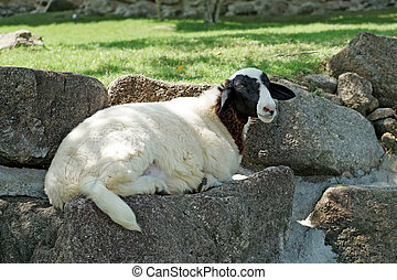 closeup of sheep in the farm