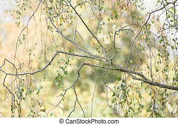 Closeup of silver birch in autumn - Closeup of silver birch...