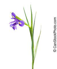 single iris on white background