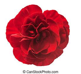 closeup of single red carnation