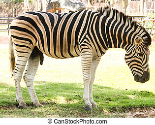 Closeup of Single zebra portrait in thailand