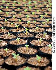 Closeup of small azalea saplings in pots.