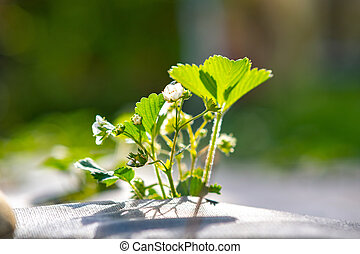 Closeup of small green strawberry plants with white flowers growing outdoors in summer garden.