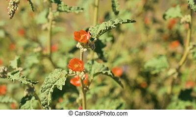 Closeup of small orange wildflowers in Arizona desert