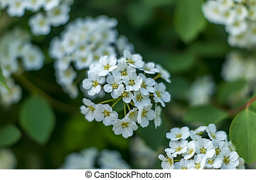closeup of small white flowers on bush. Floral background