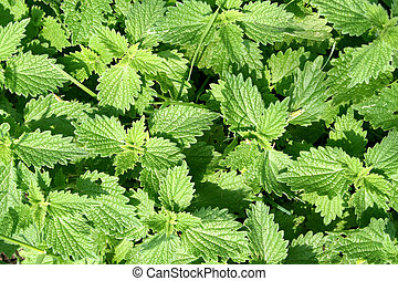 Closeup of some Stinging nettles. Texture mode.