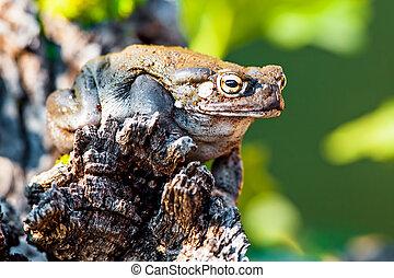 Closeup Of Sonoran Desert Toad On Rock - Closeup of Sonoran...