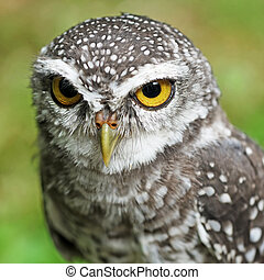 spotted owlet or athene brama bird - closeup of spotted...
