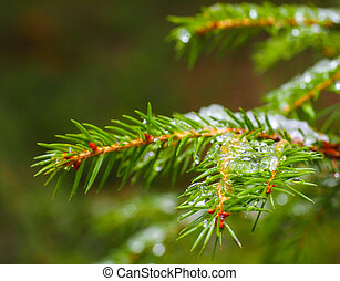 Closeup of spruce with ice with beautiful bokeh, isolated towards green lush foliage