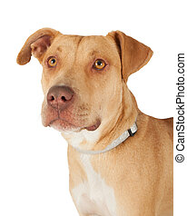 Closeup Of Staffordshire Bull Terrier Mix Breed Dog -...