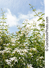 star jasmine flowers in bloom against blue sky with cumulus clouds