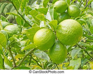 Closeup of still green lemon fruits on tree