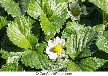 strawberry plants with flowers and leaves growing in garden