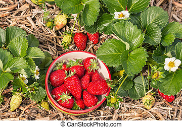 strawberry plants with ripe strawberries growing in organic garden