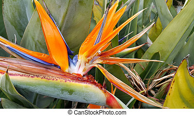 Closeup of Strelitzia Reginae flower (bird of paradise...