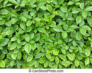 Strobilanthes crispa green leaves showing texture of leaf....