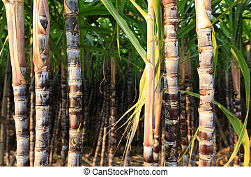 closeup of sugarcane plants in growth  at field