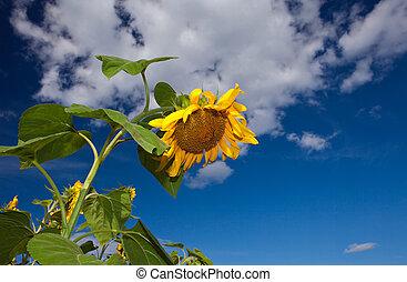 Closeup of sunflower against a blue sky background
