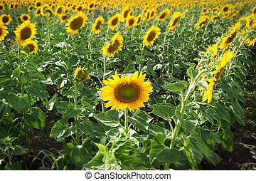 Closeup of sunflowers in field
