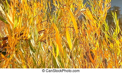 Closeup of Sunset Backlit Willow Tree Leaves Blown by Wind -...