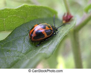 Swamp Milkweed Beetle - Closeup of Swamp Milkweed Beetle on...