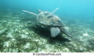 Closeup of swimming sea turtle