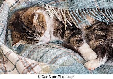 tabby cat sleeping under blue tartan blanket