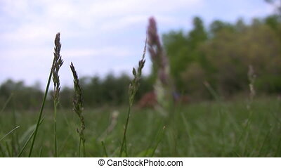 Closeup of tall grass with small do