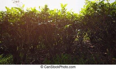 Closeup of Tea Bushes on a Farm in Sri Lanka. Video 1080p...