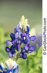 Closeup of Texas Bluebonnet flower (Lupinus texensis)