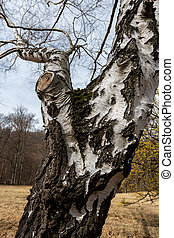 Closeup of the bark of a silver birch (Betula pendula)