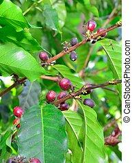 coffee fruit growing in Hawaii Big Island