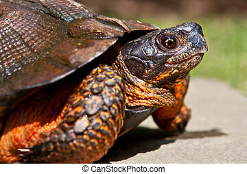 Closeup of the endangered North American Wood Turtle