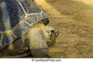 closeup of the face of a aldabra giant tortoise, vulnerable reptile specie from madagascar and seychelles