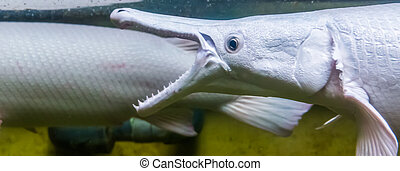 closeup of the face of a alligator gar opening its mouth, ...