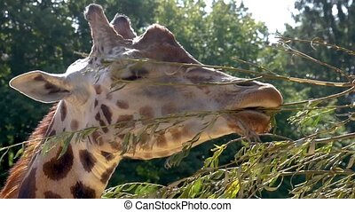closeup of the face of a rothschild's giraffe eating leaves from a branch, zoo animal feeding and care, Endangered animal specie from africa