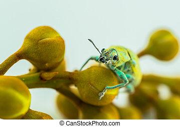 closeup of the green beetle