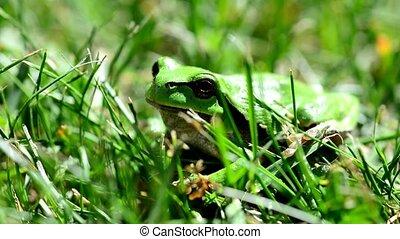 Green European Tree Frog - Closeup of the Green European...