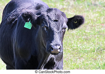 Closeup of the head of a black cow with ear tag.