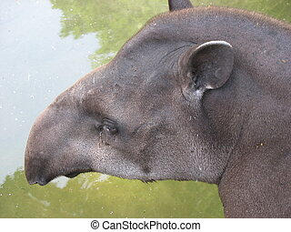 Brazilian tapir - Closeup of the head of a Brazilian tapir (...