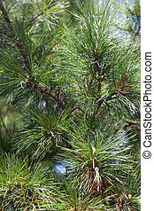 Closeup of the pine buds and needles.