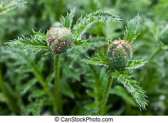 Closeup of the poppy buds with drops of dew