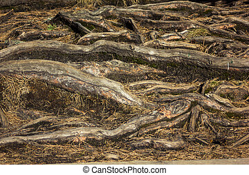 Closeup of the tree roots - detailed texture