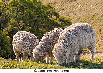 three merino sheep grazing on meadow