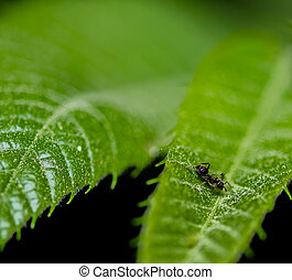 Closeup of tiny black ant on a green leaf