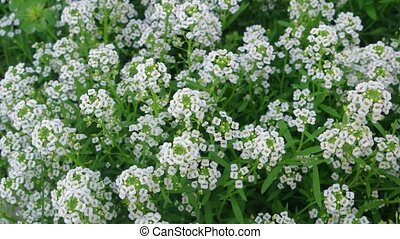 Closeup of Tiny White Flowers in a Garden. 4k Ultra HD video...