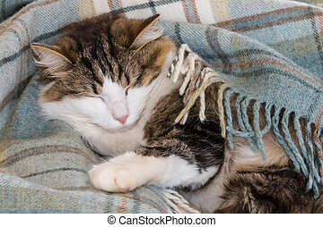 tired tabby cat sleeping in blue woollen blanket