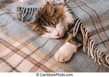 tired tabby kitten sleeping under pale blue tartan blanket with copy space