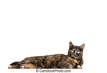 tortoiseshell cat - closeup of tortoiseshell cat standing...