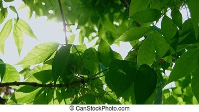 Closeup of tree branch with fresh leaves sun shining through